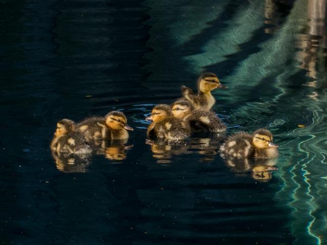 Ducks_11_SBH_160415