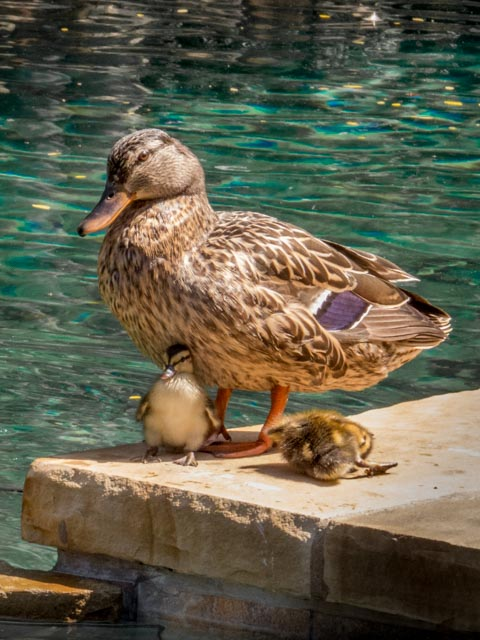 Ducks_18_SBH_160415
