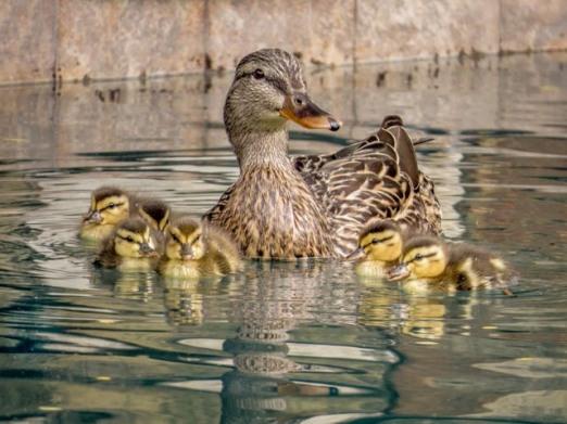 Ducks_22_SBH_160414_ME