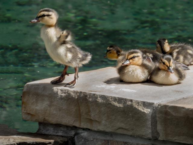 Ducks_27_SBH_160415