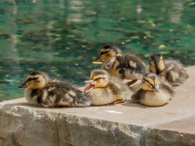 Ducks_28_SBH_160415