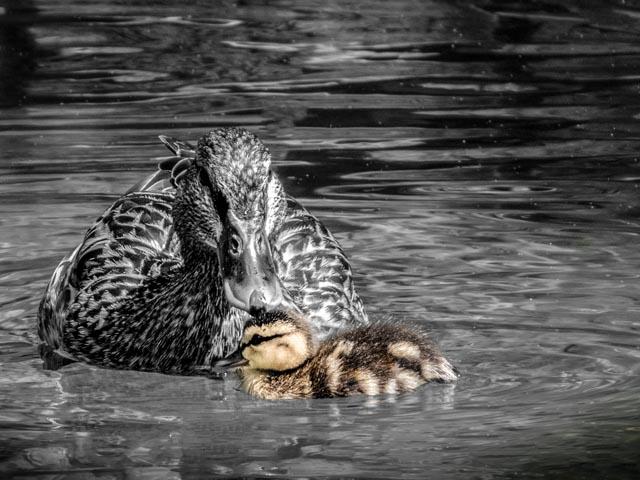 Ducks_31_SBH_160415_ME