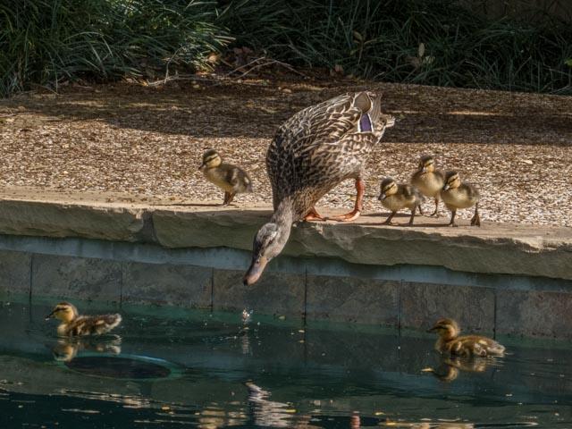 Ducks_34_SBH_160415