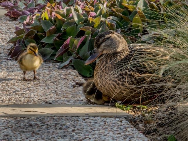 Ducks_37_SBH_160415
