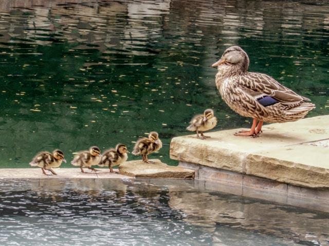 Ducks_40_SBH_160416