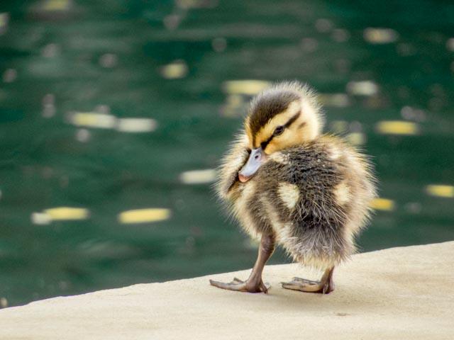 Ducks_43_SBH_160416