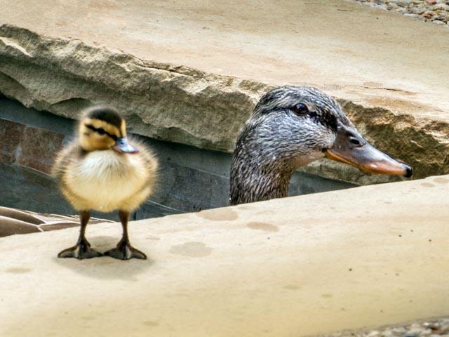 Ducks_45_SBH_160416_ME