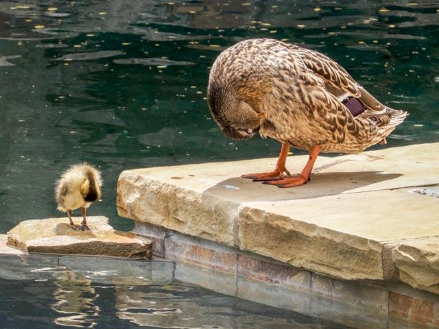 Ducks_47_SBH_160416