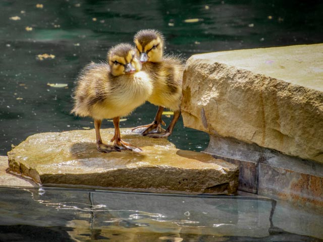Ducks_49_SBH_160416