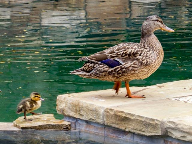 Ducks_55_SBH_160416