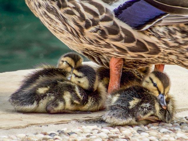 Ducks_58_SBH_160416