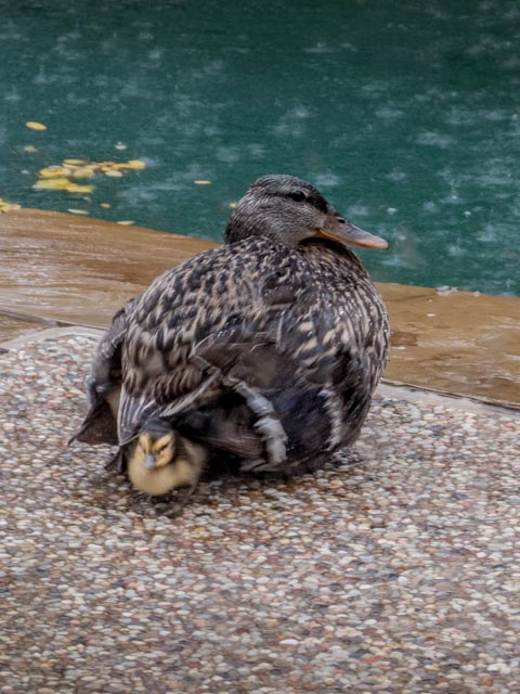 Ducks_63_SBH_160417