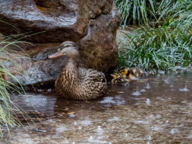 Ducks_64_SBH_160417