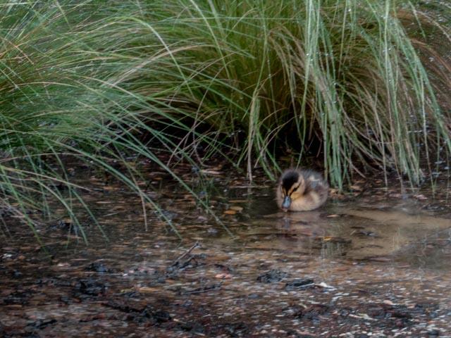 Ducks_65_SBH_160417