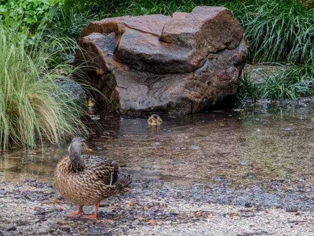 Ducks_67_SBH_160417