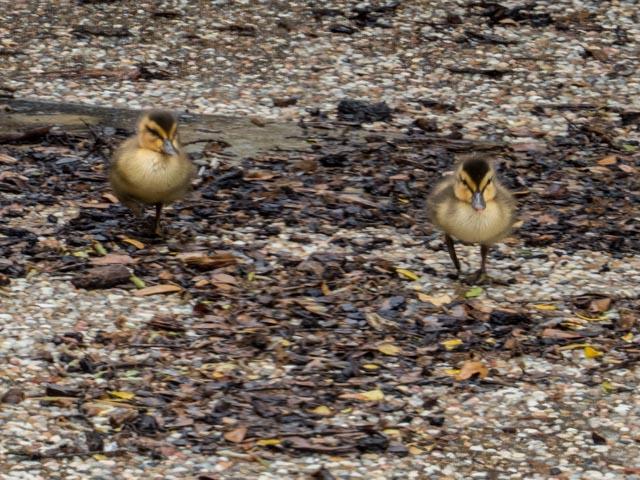 Ducks_69_SBH_160417