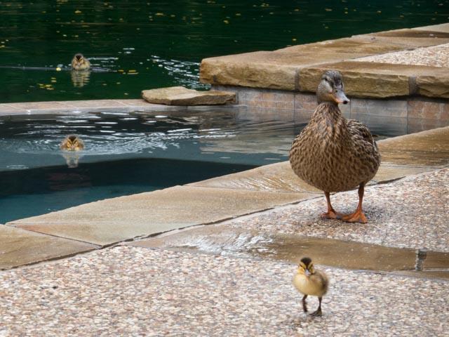 Ducks_70_SBH_160417