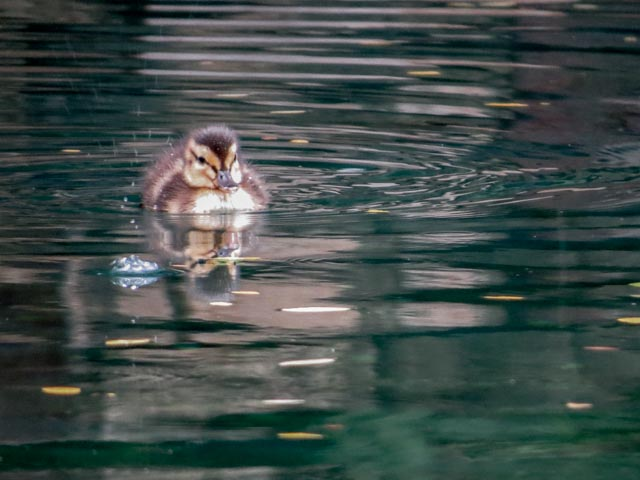 Ducks_74_SBH_160417