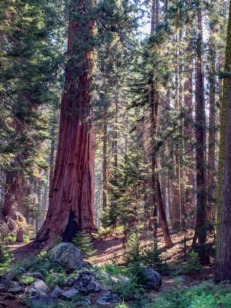 Sequoia-14